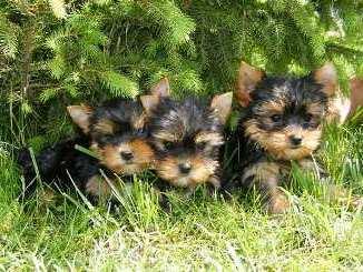 Donde Comprar un cachorro Yorkshire Terrier
