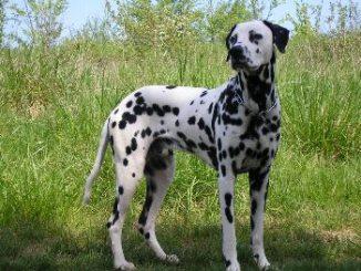 Como es el Perro Dálmata
