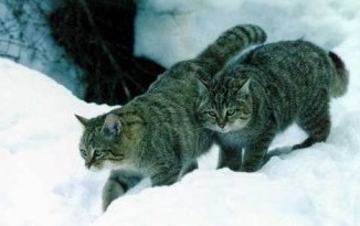 Los gatos siberianos son poco conocidos como mascotas