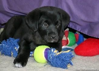 Tipos de Juguetes para Perros