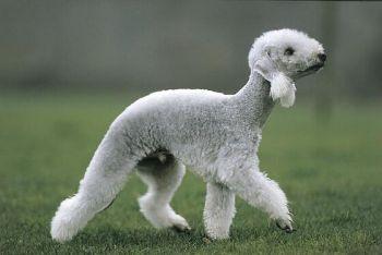 Raza Bedlington Terrier o Perro Oveja