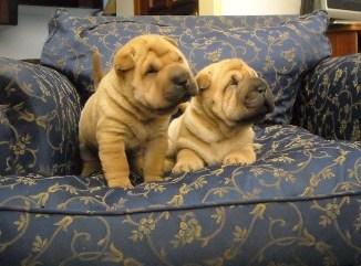 Criaderos de Cachorros de la Raza Shar Pei