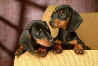 Criaderos de Cachorros de la Raza Dachshund o Salchicha