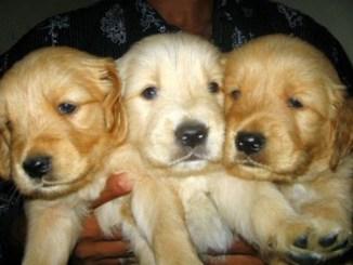 Criaderos de Cachorros de la Raza Golden Retriever