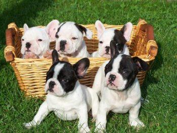 foto de criaderos raza bulldog-frances