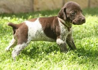 Criaderos de Cachorros de la Raza Braco Alemán Pelo Corto