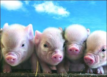 Fotografías e Imágenes de Mini Cerdos o Minipigs