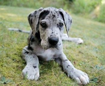 fotos de cachorros gran danes 1