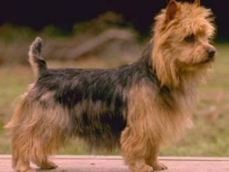 Razas Terrier Australiano