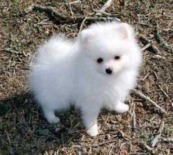 Perro Pomerania de hermoso pelaje