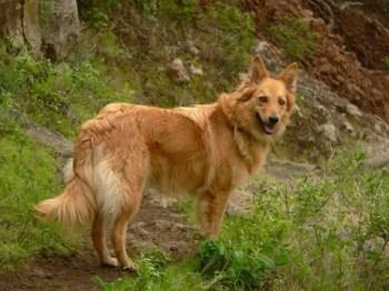 Perro pastor Garafiano