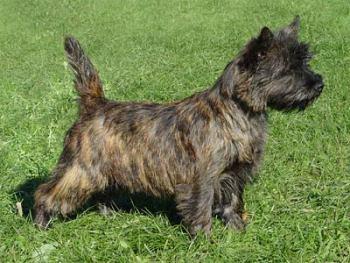 Características de la Raza Cairn Terrier