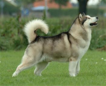 Huski Siberiano una de las razas de perro más bella