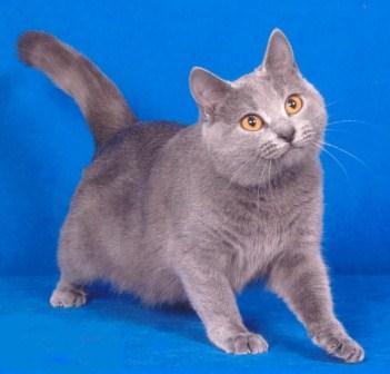 Gato Raza Cartujo o Gato Chartreux