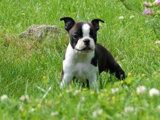 Características del perro Boston Terrier