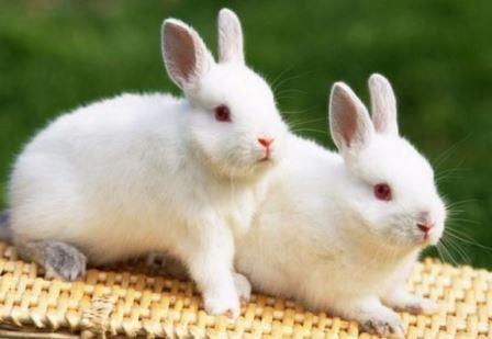 Newzealand Rabbit