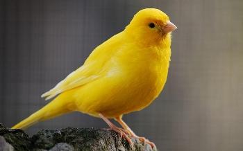 Motivos por los que un canario no canta