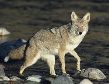 El coyote Americano