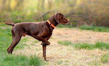 foto de perro de caza - raza de muestra