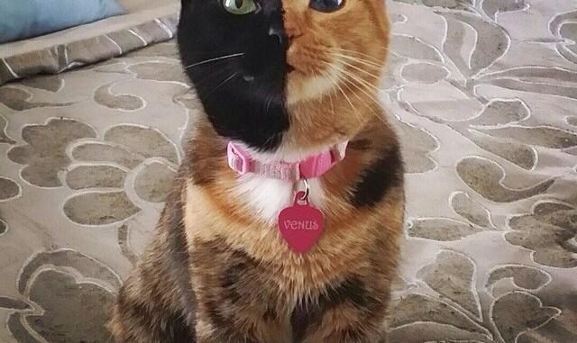 Foto de venus el gato de dos caras