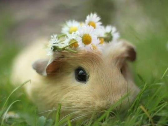 Foto de Booboo el adorable conejillo de Indias