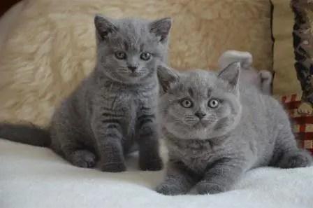 Foto gato azul