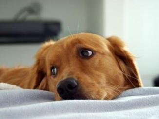 Enfermedades comunes en perros Cataratas estado emocional y diabetes