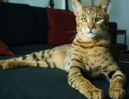 Foto de gato Ashera