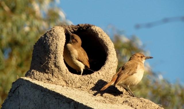 Cómo construye su nido el hornero
