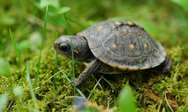 Acerca de la tortuga como mascota doméstica