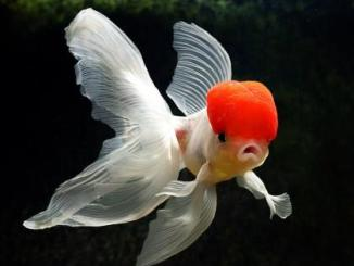 Cuáles son los peces conocidos como japoneses
