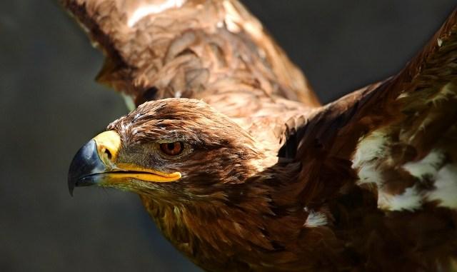 Aguila real águila mexicana, símbolo del país azteca