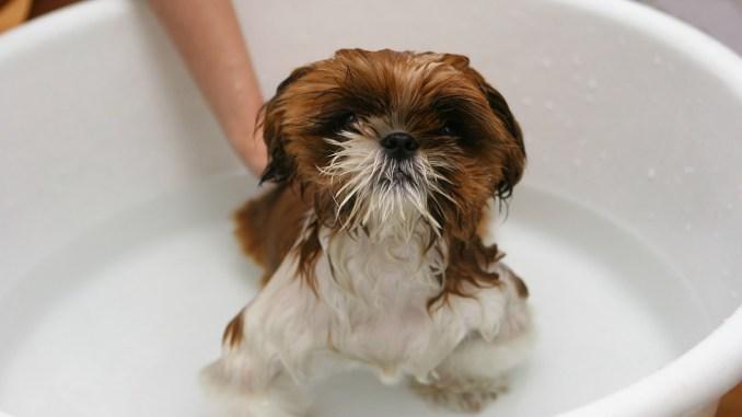 Cuáles son los pasos a seguir para bañar un perro