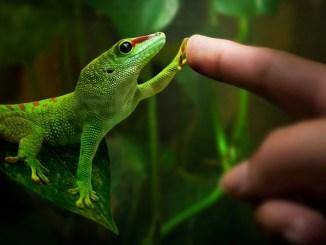 Cómo preparar el ambiente de una lagartija gecko
