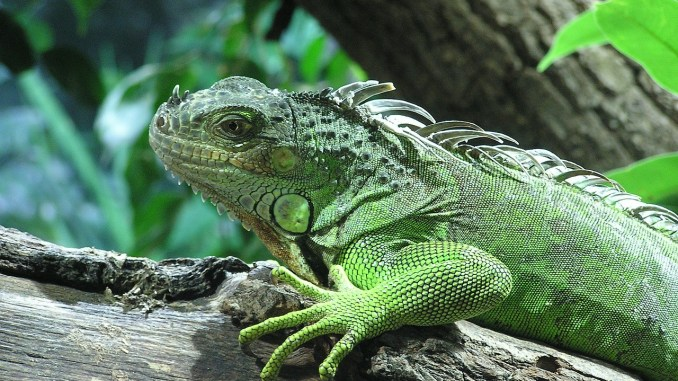 Aprende a alimentar a tu iguana correctamente