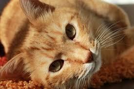 Cómo evitar la obesidad en los gatos