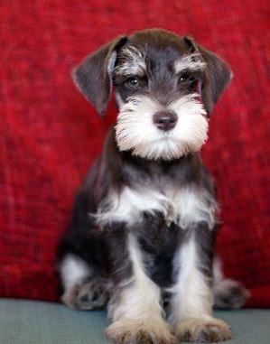 Algunas características de los perros Schnauzer miniatura