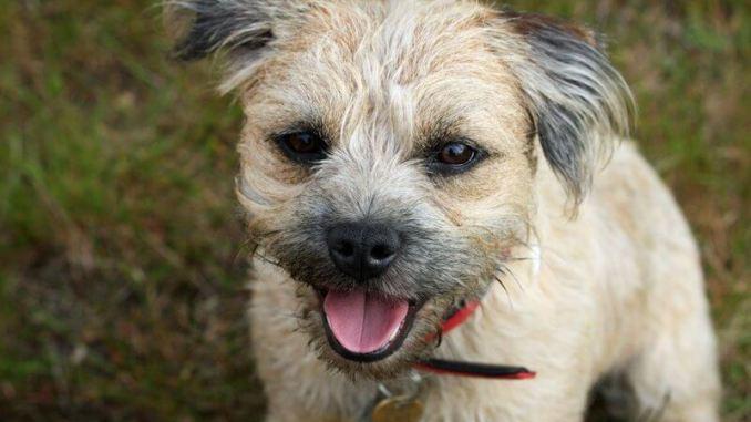 Características y cuidados de la raza Border Terrier