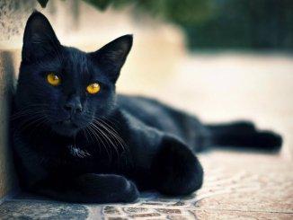 Por qué adoptar un gato negro
