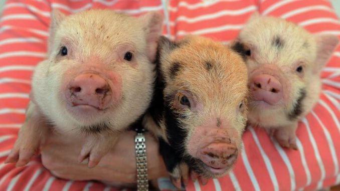 Cómo cuidar tu mini pig mascota
