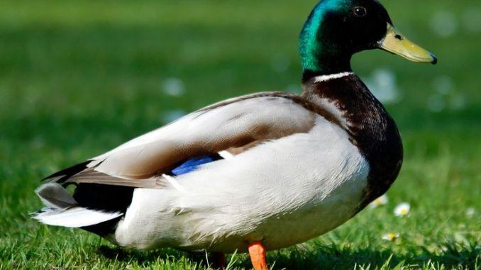 Diferentes razas de patos
