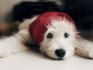 Características del perro Poodle