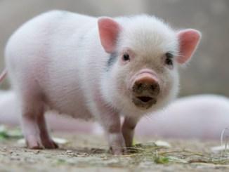 10 Consejos para Criar un Mini Pig Mexicano