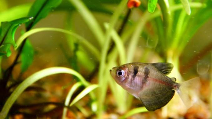 Cómo saber si un pez esta enfermo