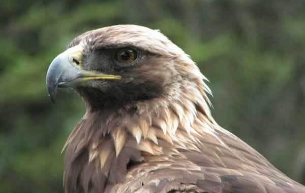 Historia del Águila Real de México