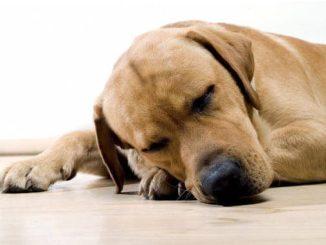 Razas de Perros con Problemas en las Articulaciones