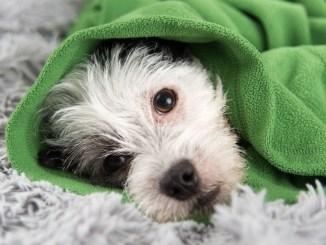 Remedios Caseros para el Resfriado o Gripe de mi Perro