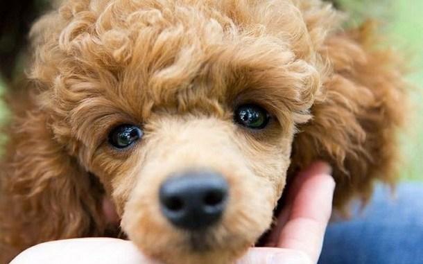 El Cuidado del Caniche
