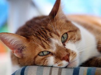 Enfermedades Virales del Gato