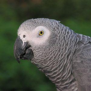 Loro gris africano de Gabón